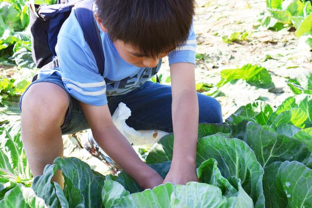 キャベツを収穫する男の子